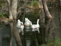 Park-Geese-LoLoMai-Springs