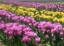 More-lovely-tulip-varieties