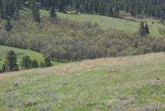 Spring 2010 pronghorn - calf