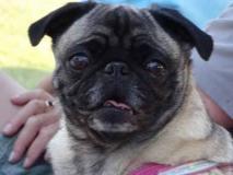204 - Lois' pug 'Belle'