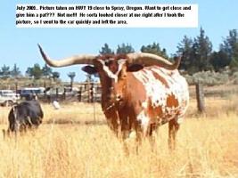 Longhorn_Bull