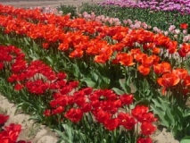 At-the-tulip-display-fields