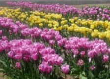 More-lovely-tulip-varieties