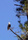 A good perch for this bald eagle